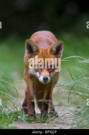 EUROPEAN RED FOX (Vulpes vulpes) in urban garden, South London, UK. - Stock Photo
