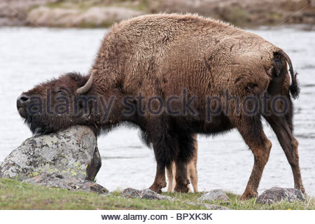 Bison Scratching Head Against Rock Along Madison River, Yellowstone National Park, Wyoming - Stock Photo