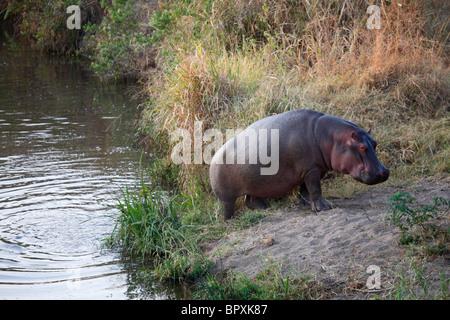 Hippopotamus (Hippopotamus amphibius) going out of the water, Serengeti National Park, Tanzania - Stock Photo
