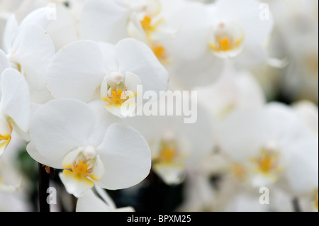 White tropical orchid flowers in close up  - Stock Photo