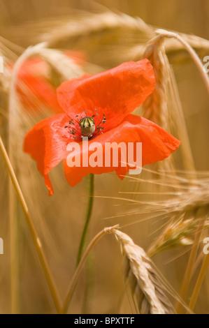 A poppy in a field of barley in rural France