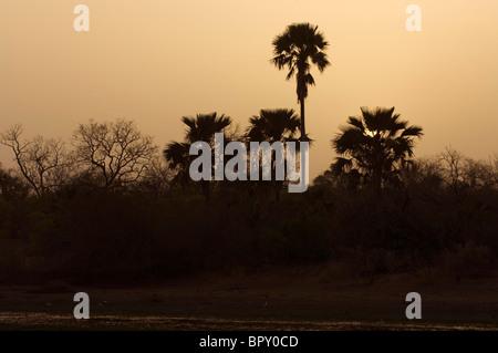 palm trees at sunset, Parc National de Niokolo-Koba, Senegal - Stock Photo