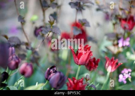 purple red black dark tulips - Stock Photo