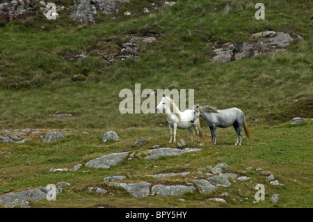 Eriskay Ponies on a Barra hillside, Outer Hebrides, Western Isles, Scotland.  SCO 6616 - Stock Photo
