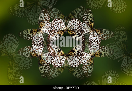 Tree nymph butterfly making a beautiful kaleidoscope like pattern on a deep forest green background. - Stock Photo