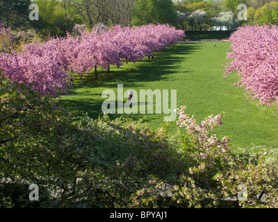Cherry Blossoms Brooklyn Botanic Garden New York Stock Photo ...