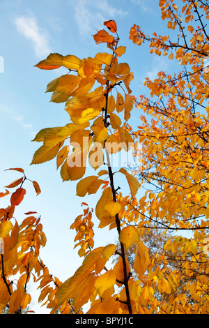 Brightly coloured autumn leaves against a blue sky - Stock Photo