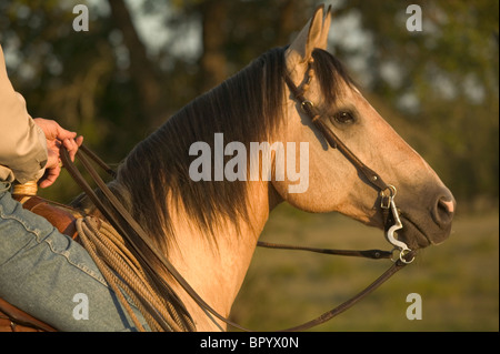 A Texan cowboy takes his horse out for a ride on the ranch. - Stock Photo