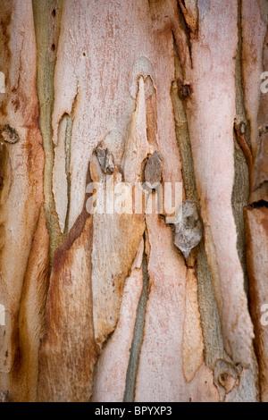 Closeup on the Eucalyptus's barks - Stock Photo