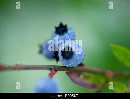 wild Maine blueberries - Stock Photo