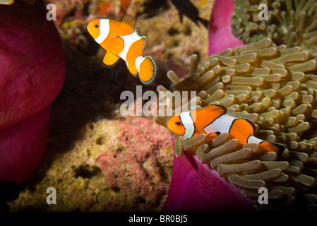 False Clown Anemonefish (Amphiprion ocellaris), Similan Islands National Marine Park, South of Phuket, Thailand, - Stock Photo