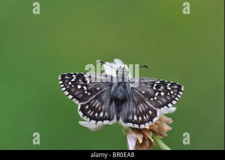 Safflower Skipper (Pyrgus carthami) gathering nectar on flower - Cevennes - France - Stock Photo