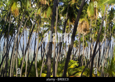 A view of palm trees (Arecaceae) in the Kamehameha palm grove on Molokai, Hawaii. - Stock Photo