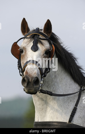 Connemara Pony (Equus ferus caballus). Portrait of a gray gelding with blinders. - Stock Photo