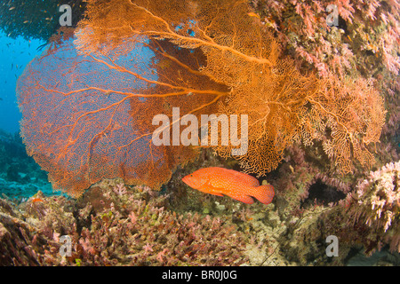 Coral Grouper (Cephalopholis miniata), scuba diving at Similan Islands Underwater Park, Thailand, SE Asia - Stock Photo