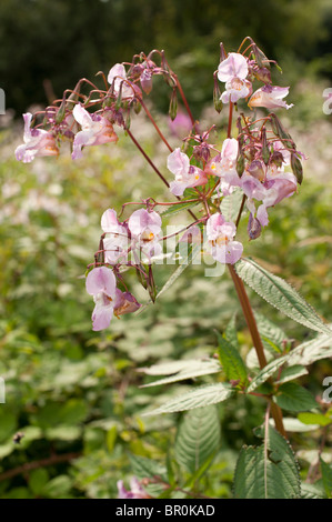 Himalayan Balsam flowers in bloom, Wales UK - Stock Photo