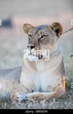 Lion (Panthero leo), Mashatu Game Reserve, tuli block, Botswana - Stock Photo