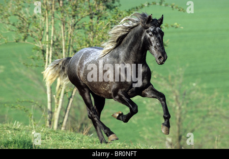 Andalusian Horse (Equus ferus caballus). Young stallion at a gallop on a meadow - Stock Photo