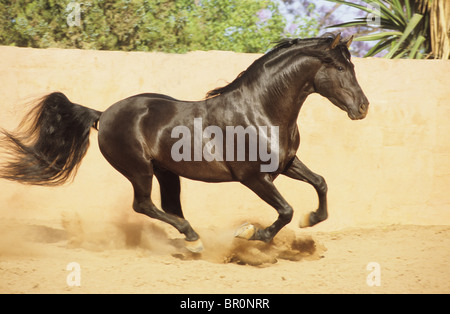 Andalusian Horse (Equus ferus caballus), black stallion at a gallop on a dusty paddock. - Stock Photo