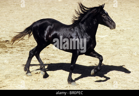 Andalusian Horse (Equus ferus caballus), young black stallion at a trot in a paddock. - Stock Photo