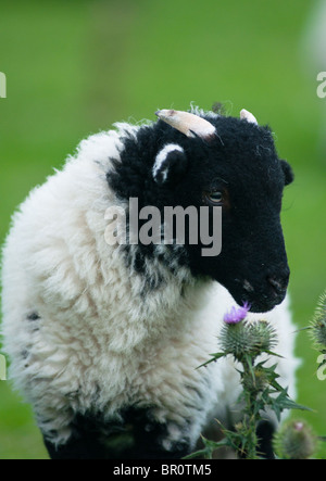 A black headed lamb smells the wild flowers in the Peak district. England. - Stock Photo
