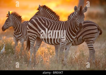 Burchell's zebra at sunset (Equus burchellii), Mashatu Game Reserve, tuli block, Botswana - Stock Photo