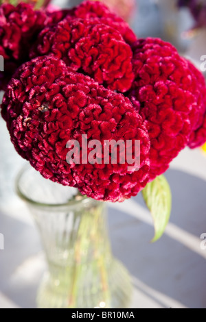closeup of red cockscomb flower in a vase - Stock Photo