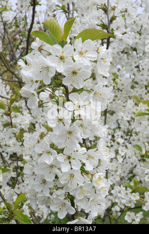 Flowers of Morello cherry, (Prunus cerasus) - Stock Photo