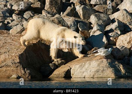 POLAR BEAR (Ursus maritimus) walking over boulders on seashore - Stock Photo