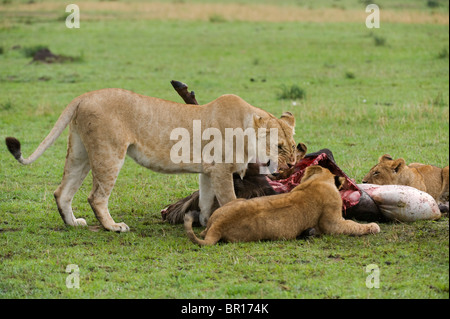 Pride of Lions on a kill (Panthero leo), Serengeti National Park, Tanzania - Stock Photo