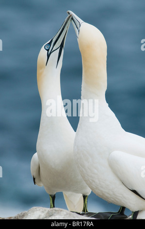 Northern Gannet (Sula bassana) Courtship 'dance', Saltee Islands, County Wexford, Ireland - Stock Photo