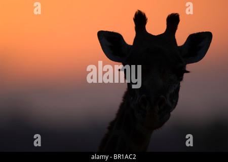 Maasai giraffe (Giraffa camelopardalis tippelskirchi), Tarangire National Park, Tanzania - Stock Photo
