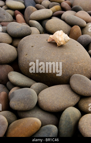 A white shell finds its way ontop a field of grey stones. - Stock Photo
