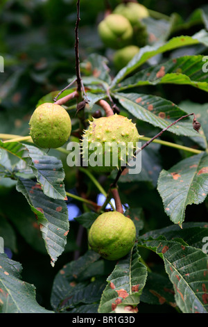Horse Chestnuts in their spiky cocoon growing on the tree in early September - Stock Photo