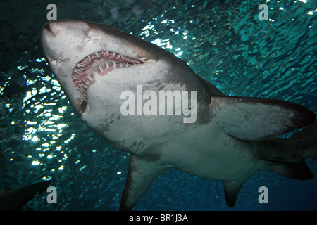 Sand Tiger Shark Carcharias taurus - Stock Photo