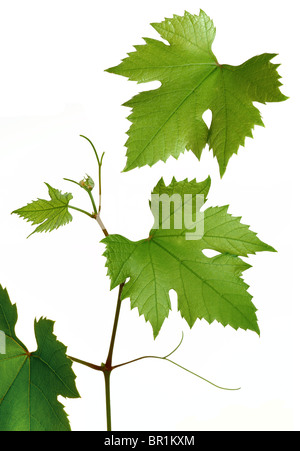 grapevine leaves - Stock Photo