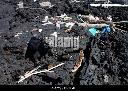 A marine iguana, one of the Galapagos' most iconic species, wanders through trash that has drifted onto the shore - Stock Photo
