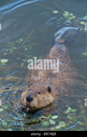 A vertical image of a wild Canadian beaver - Stock Photo
