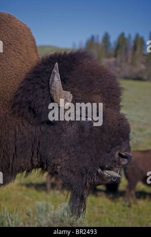 American Bison (Bison bison) Wyoming - Male in rut - Commonly called buffalo - Stock Photo