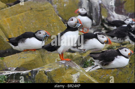 Atlantic Puffins (Fratercula Arctica) with sand eels in their beaks.  Farne Islands, Northumberland, UK. - Stock Photo