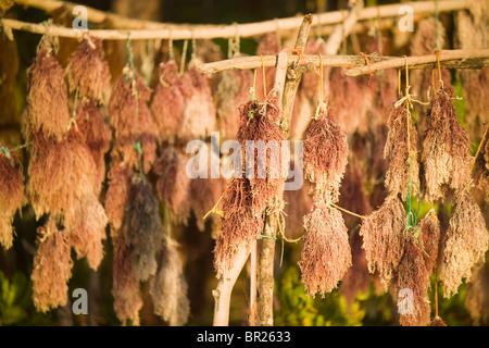 Seaweed, a cash crop, hangs to dry on the beach in Matemwe, Zanzibar, Tanzania. - Stock Photo