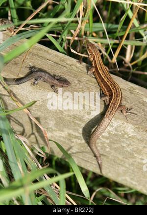 Female and Juvenile Common or Viviparous Lizard, Zootoca vivipara, Lacertidae, Lacertilia, Squamata, Reptilia.
