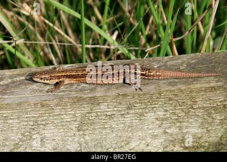 Female Common or Viviparous Lizard, Zootoca vivipara, (formerly Lacerta vivipara), Lacertidae, Lacertilia, Squamata, Reptilia.