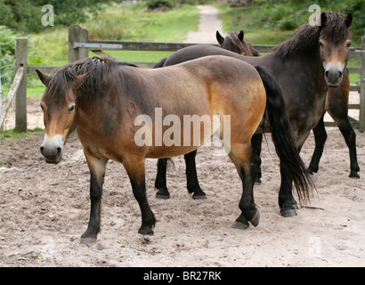 Exmoor Ponies, Rammamere Heath SSSI, Bedfordshire. Rare, Endangered Breed of Horse, Equus ferus caballus, Equidae. - Stock Photo