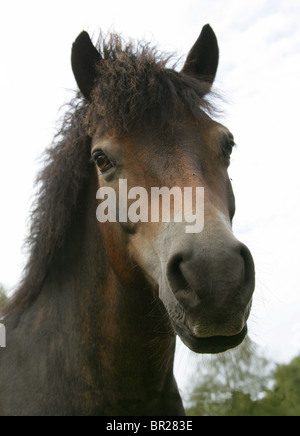 Exmoor Pony, Rammamere Heath SSSI, Bedfordshire. Rare, Endangered Breed of Horse, Equus ferus caballus, Equidae. - Stock Photo