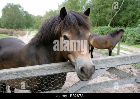 Exmoor Ponies, Rammamere Heath SSSI, Bedfordshire. Rare, Endangered Breed of Horse, Equus ferus caballus, Equidae. - Stock Photo