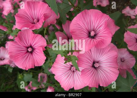Lavatera Trimestris Flowers Annual Mallow Close up - Stock Photo