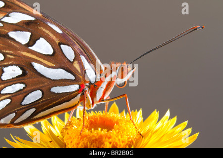 Gulf Fritillary, or Passion butterfly (Agraulis vanillae), Georgia, USA. - Stock Photo