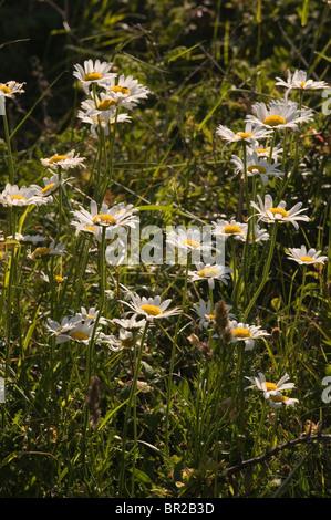 Oxeye Daisy Leucanthemum vulgare near Mullion Cove Cornwall England UK - Stock Photo