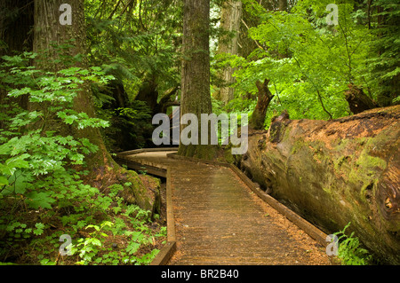 Grove of the Patriarchs Trail, Mount Rainier National Park, Washington. - Stock Photo
